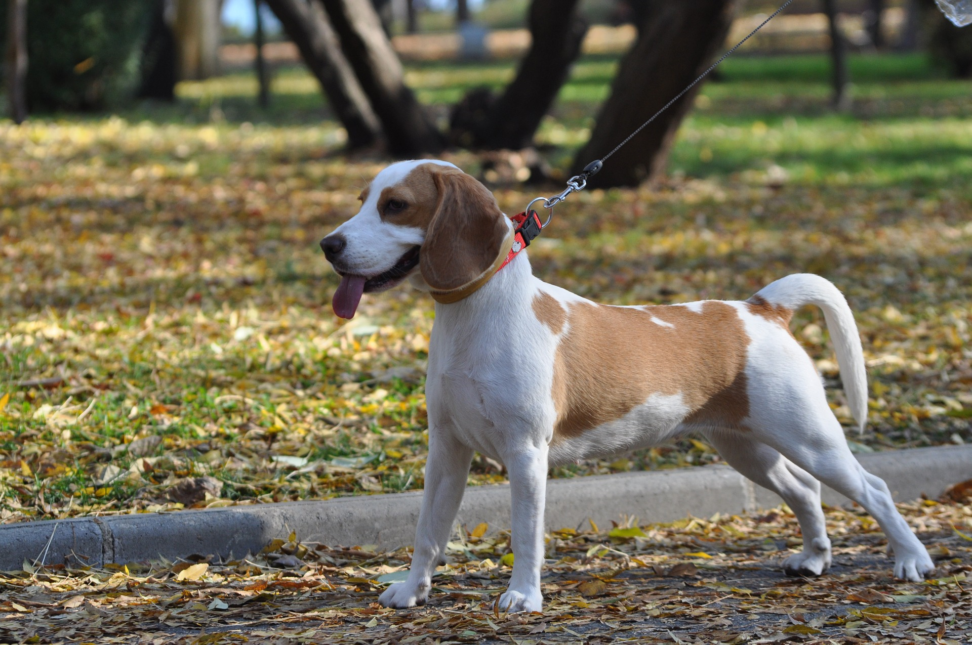 How To Stop Your Beagle From Pulling On A Leash Modern Beagle