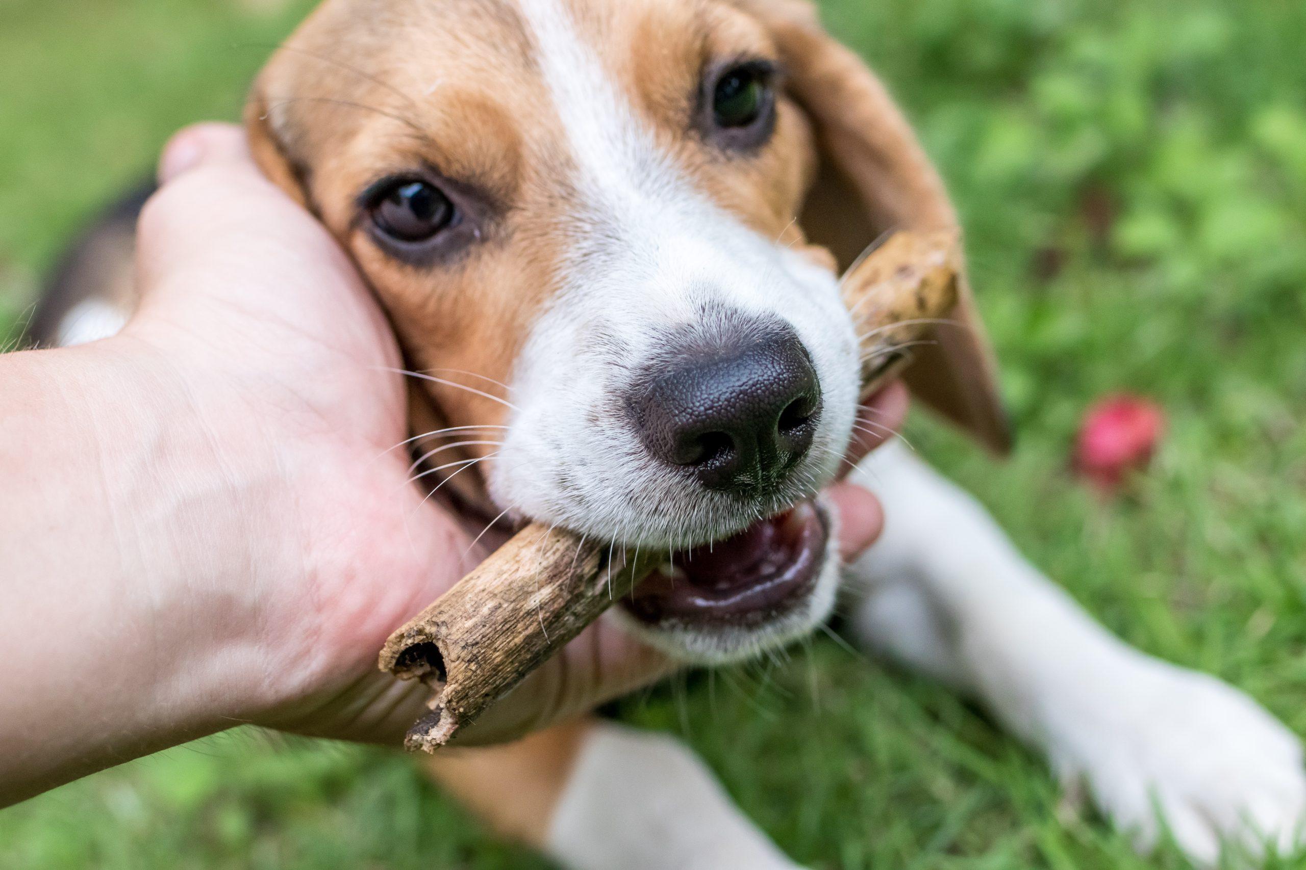 When Do Beagles Stop Teething? – Modern Beagle